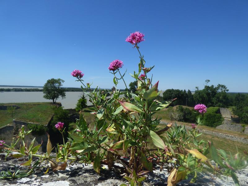 Fleurs de Citadelle...